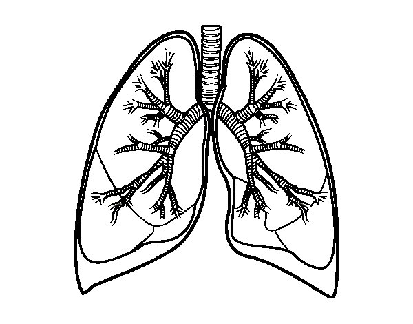 Lungs and bronchi coloring page Coloringcrew