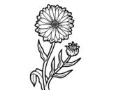 Pot marigold coloring page