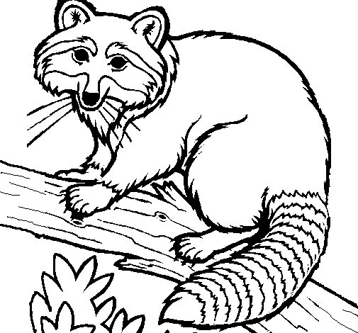 Raccoon coloring page
