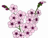 Coloring page Cherry tree flower painted byNerak